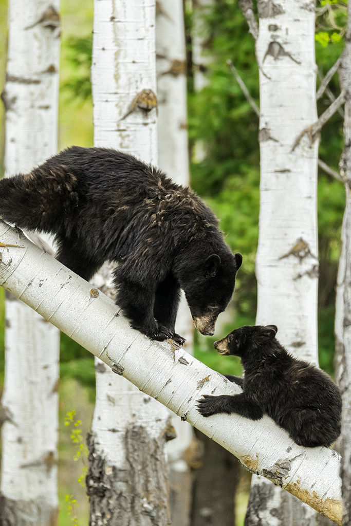 Black Bear Mother is Playing with Her Yearling Cub on tree branch, image by Gero Heine Photography LLC
