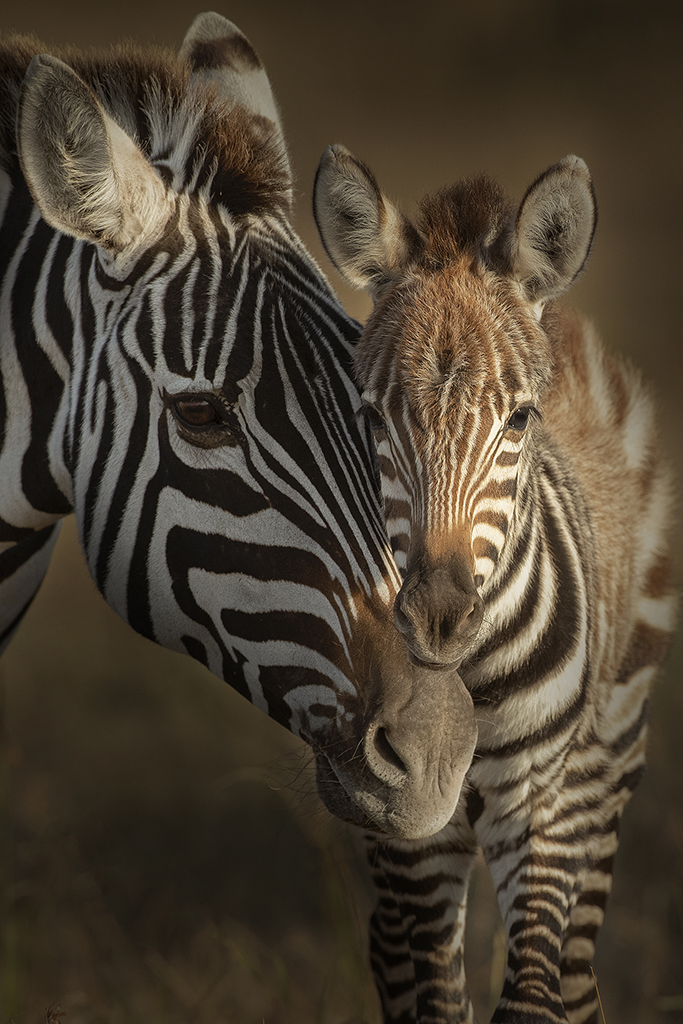 Plains Zebra with Young, image by Hector D. Astorga