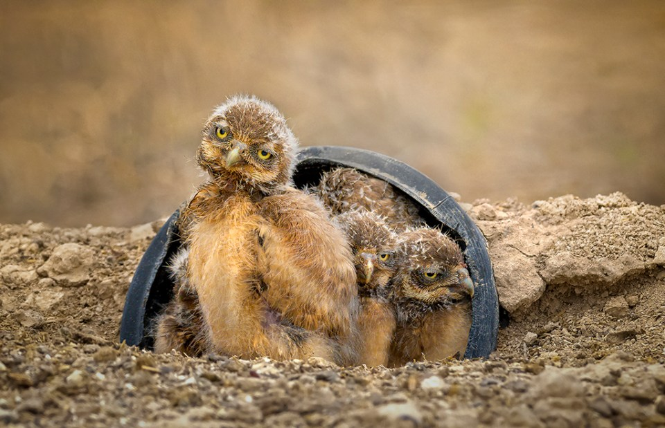Inquisitive Nestling Burrowing Owls, image by Jim Shane