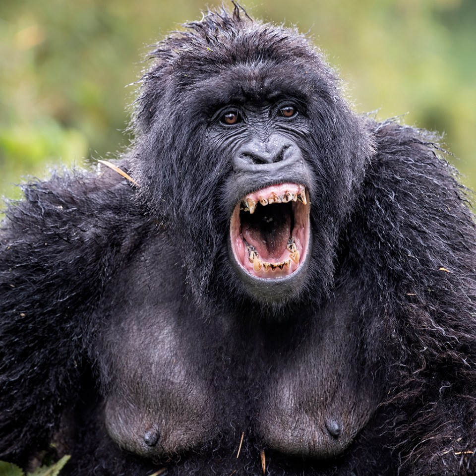 Female Gorilla Screaming, image by Kathleen Reeder
