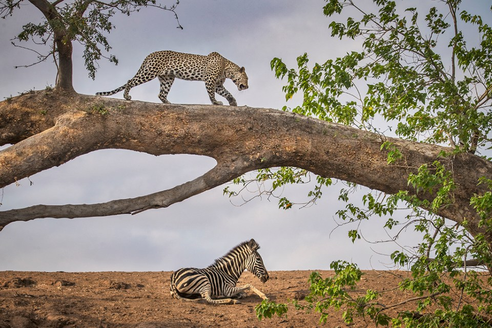 A Leopard Stalks a Young Zebra Beneath Him on Tree Limb, image by Kevin Dooley