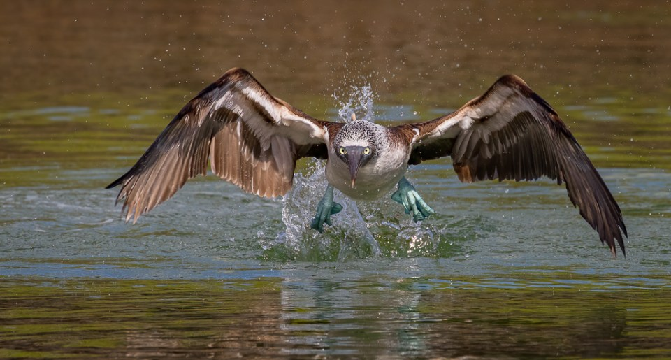 Blue-Footed Booby Taking off from Water, image by Patrick Pevey