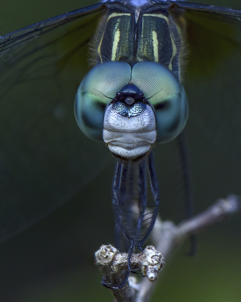 A Blue Dasher Dragonfly Perches Cooperatively, image by Peter Brannon