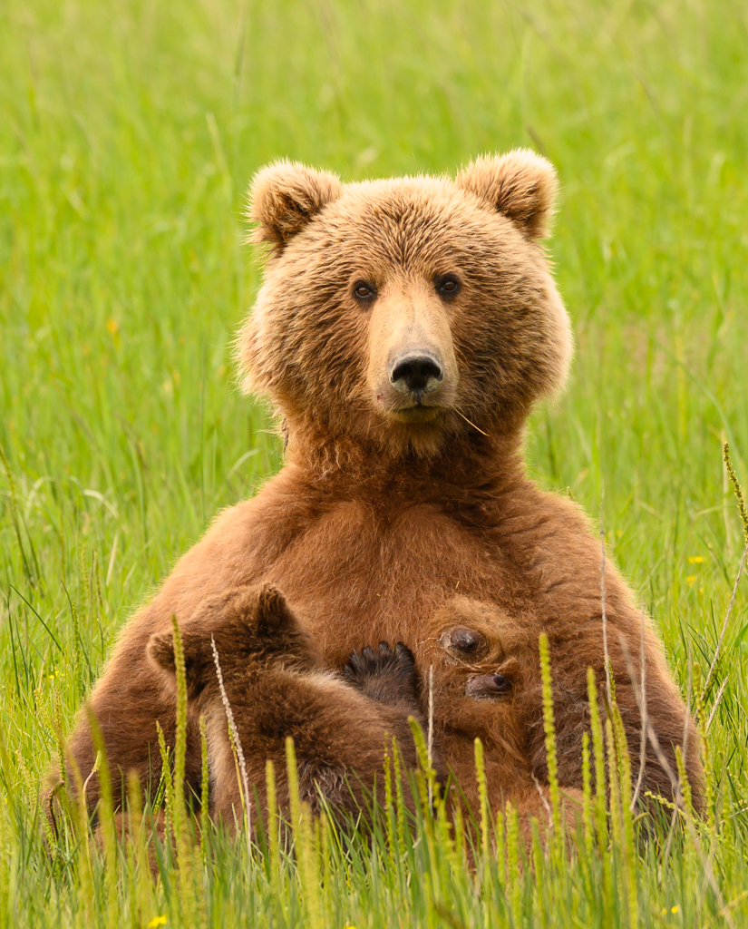 Alaska Coastal Brown Bear Nursing Spring Cub, image by Peter Hartlove