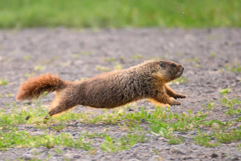 Yellow-Bellied Marmot Running, image by Peter Hartlove