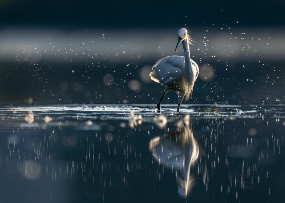 Snowy Egret Thrashing Around Chasing Prey, image by Peter Ismert
