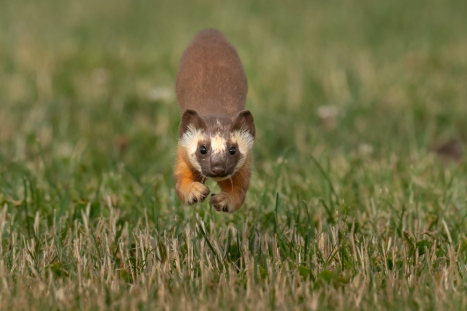 Long-Tailed Weasel Running Towards Camera, image by Sarah Killingsworth Photography