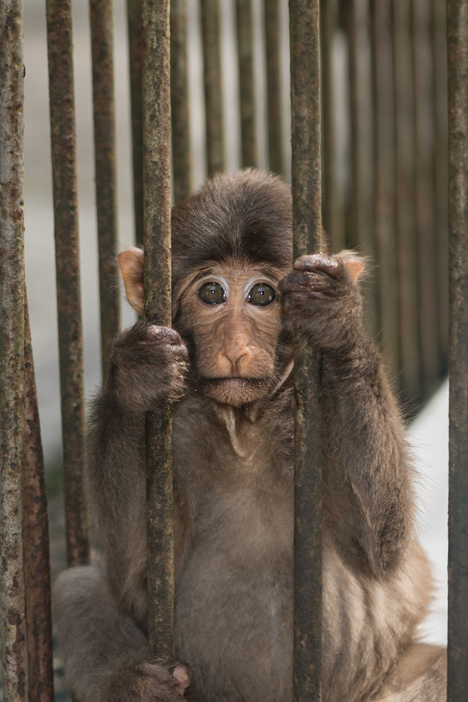Tibetan Macaque Behind Bars at a 'Rescue' Facility in China, image by Scott Trageser