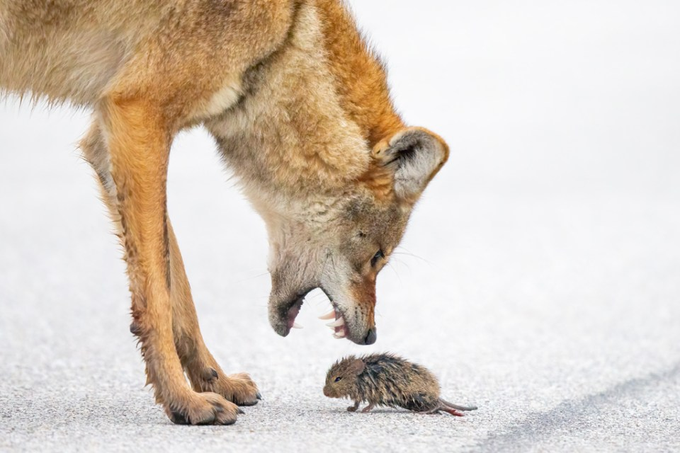 Fierce Coyote with Open Mouth Inches from Field Rat, image by Tim Timmis