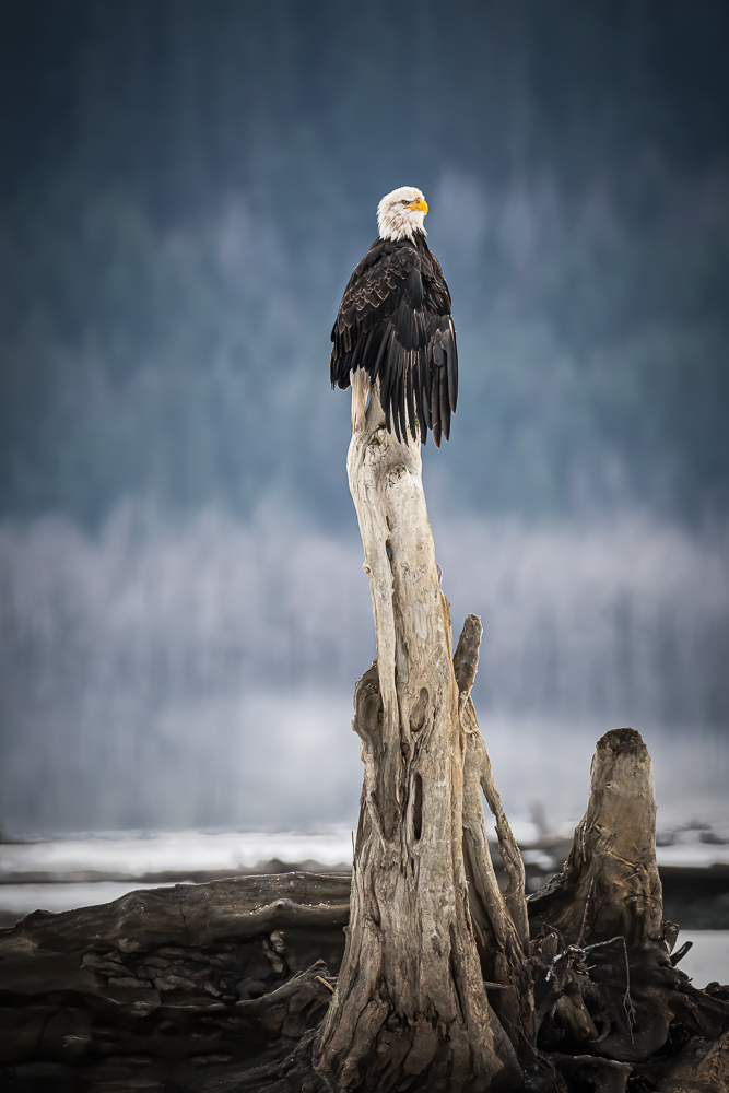 Perched Eagle © Debbie McCulliss