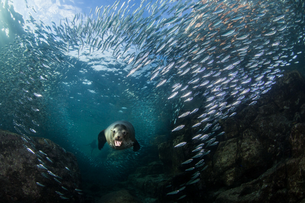 Sea Lion Swimming, Surrounded by Fish, Image by Alex Rose