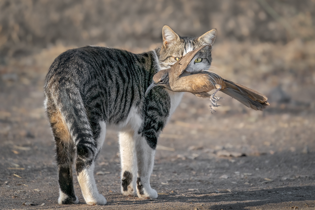 California Thrasher in the Mouth of a Domestic Cat, image by Alice Cahill