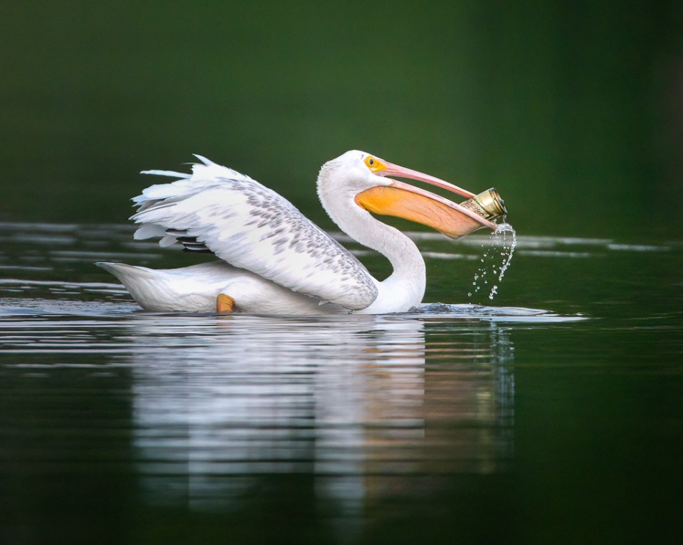 Pelican swimming with beer can, image by Jeremy Burnham