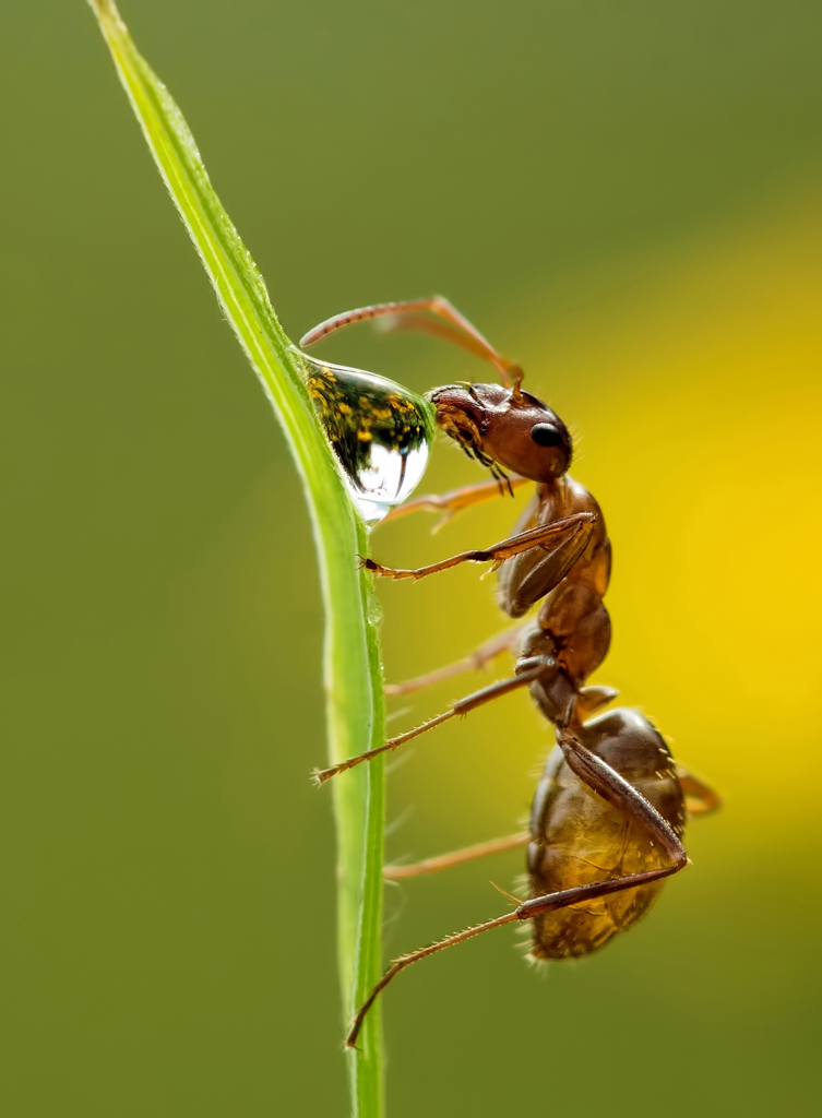 Ant Feasting on a Nectar Bubble, image by Lea Foster