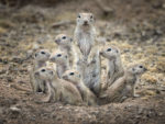 Adult prairie dog surrounded by young ones emerging from ground, image by Lea Lee-Inoue