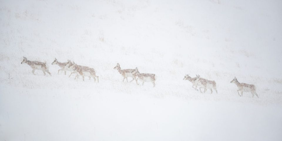 Group of Pronghorn in a Snowstorm © Debbie McCulliss