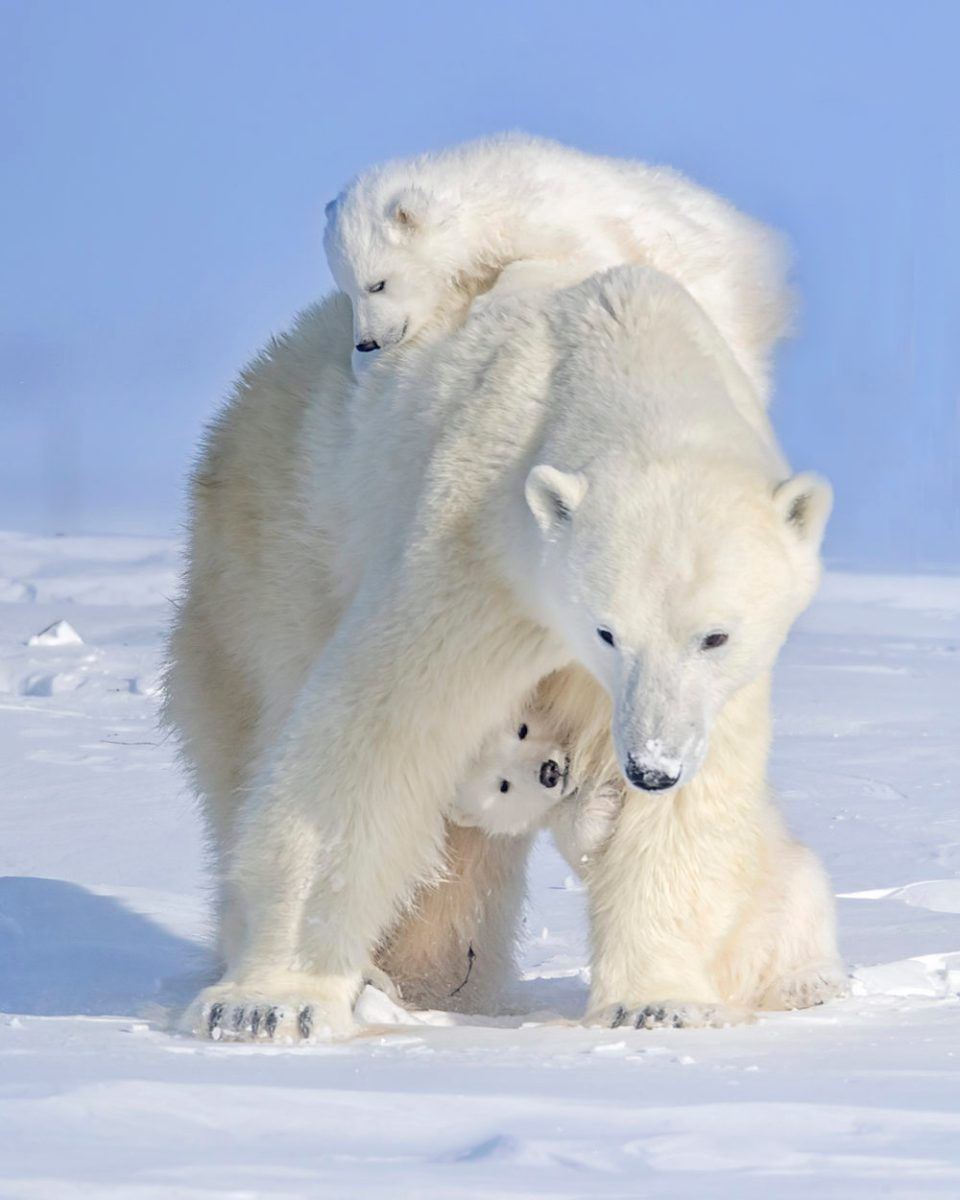 Photo of a polar bear mother and two cubs, with the cubs playing under the mother's legs and on top of her back. © Ken Conger