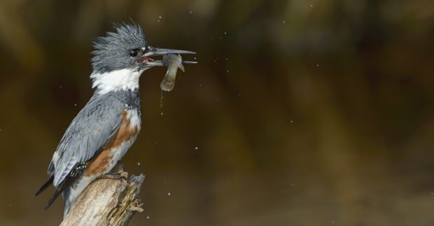 belted-kingfisher-female-03282015-chincoteague-nwr-va