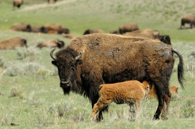 A bison cow nurses her calf - Hayden Valley, Yellowstone National Park, Wyoming. Both male and female bison have horns. © Jim Clark