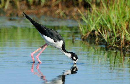 Black-necked stilt. © Jim Clark