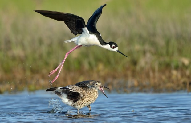 Black-necked stilt protects its territory from a willet. © Jim Clark