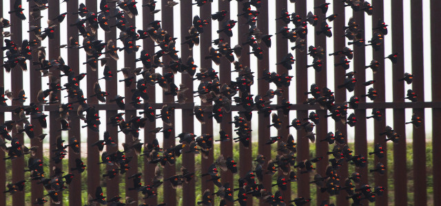 Blackbirds and the wall in South Texas.