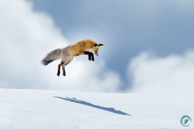 Fox Mousing Jump: Peter Pan and His Shadow, Yellowstone National Park © Cindy Goeddel