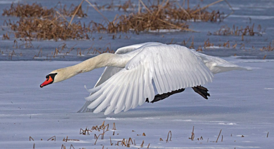 A mute swan takes off on the snow.