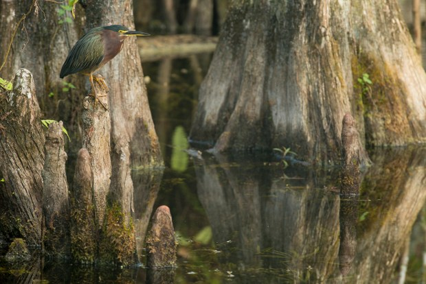Green Heron (Butorides virescens) on Cypress knee.