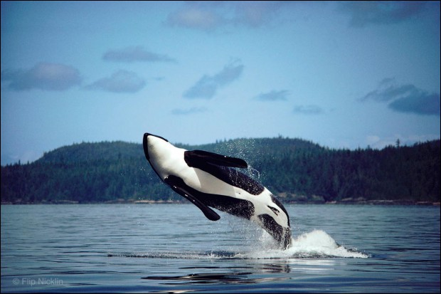 Orca or Killer Whale breaching, Johnstone Strait, British Columbia. © Flip Nicklin