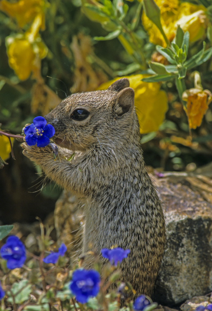 Rock squirrel eating phacelia blossoms, Pima County, AZ
