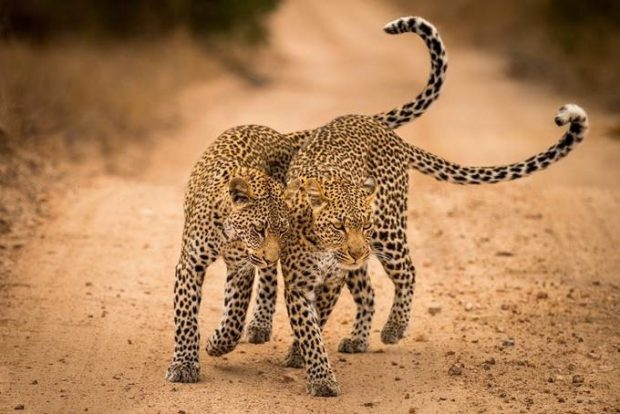 © David Rosenzweig / NBP Awards 2016 / Leopard and Son, Timbavati Game Reserve, South Africa