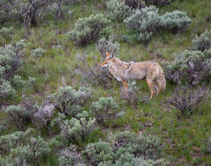 Coyote in sagebrush