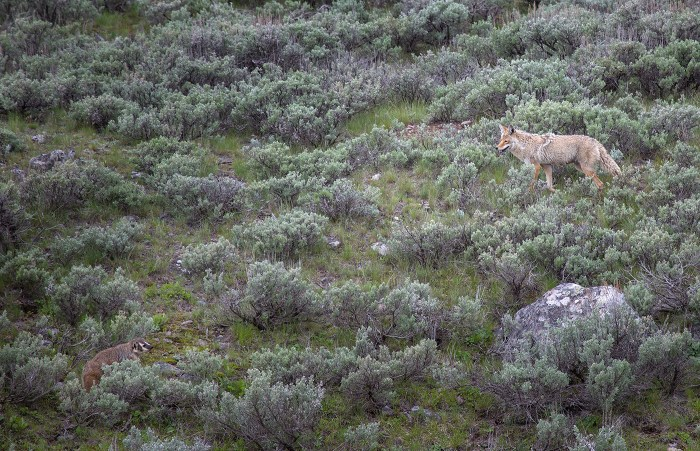 Badger and Coyote among sagebrush