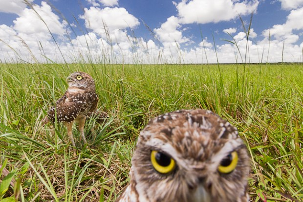 Homestead, Florida USA. Burrowing owls (Athene cunicularia floridana) are diurnal birds that make their home in the ground. Photographing these birds was a difficult task. I wanted a close perspective with a wide angle to show their habitat which is rarely showcased in owl photography. I failed many times while trying to find a way to disguise my camera and leave the birds undisturbed. Luckily, their burrows had been marked with road cones. For 6 months I visited the owls and placed my camera inside the cone and using an intervalometer, I took an exposure every 5 seconds. Setting my camera to beep before each exposure ensured the owls would be looking my direction. I used a polarizer to bring out the blues in the sky and soften the light on the grass. Photo by Mac Stone.