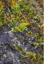Tundra plants cascade over a rock. Fall colors are just starting to emerge. © Margaret Gaines