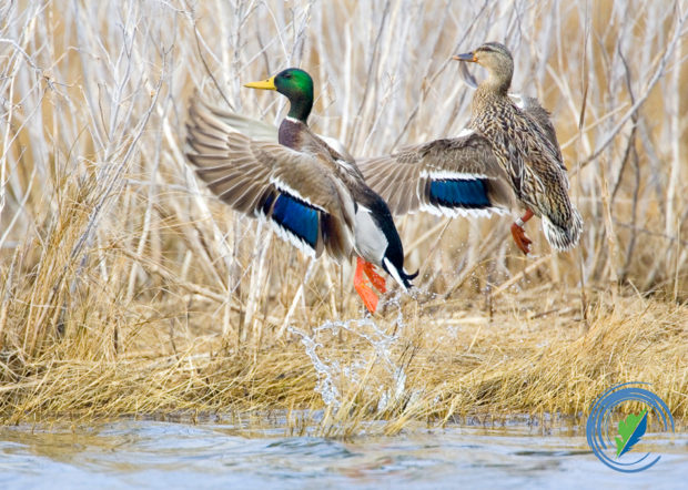 Mallard Pair, Outer Banks, NC © Mark Buckler