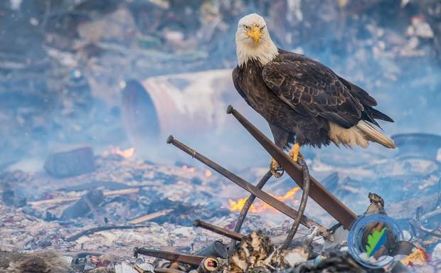 A bald eagle in small community burning trash pit, Adak, Aleutian Islands, Alaska--Showcase 2017 Birds Best of Show