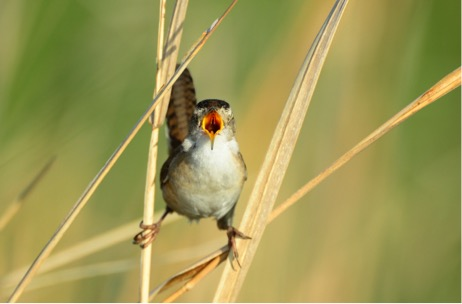 Marsh wren, Fishing Bay Wildlife Management Area, Maryland. © Jim Clark