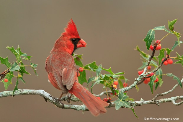 Northern cardinal by Jeff Parker