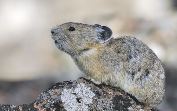 Pika Calling - Aug 09 - Yellowstone National Park WY (c) Jim Clark