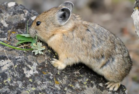 American pika collecting vegetation, Yellowstone National Park, Wyoming. © Jim Clark