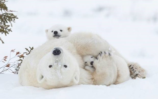 © Daisy Gilardini / NBP Awards 2016 / Polar Bear Mother and Cubs, Wapusk National Park in Manitoba, Canada.