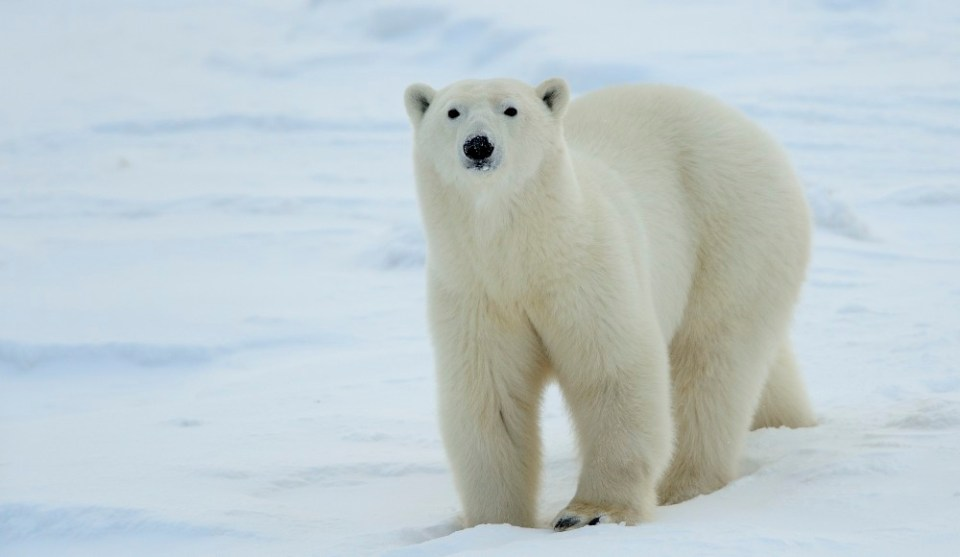 Polar bear at Churchill Wildlife Management Area in Manitoba. © Jim Clark