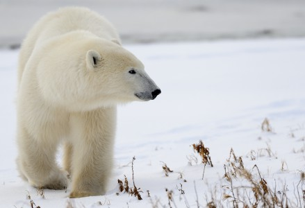 Polar bears are the apex predators of the arctic. Churchill Wildlife Management Area, Manitoba. © Jim Clark