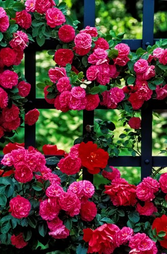 Roses and trellis in mixed light.
