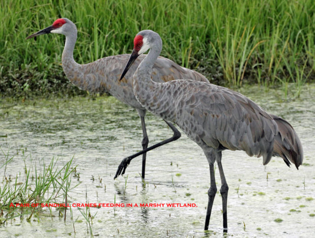 A pair of Sandhill cranes feeding in a marshy wetland. © Budd Titlow