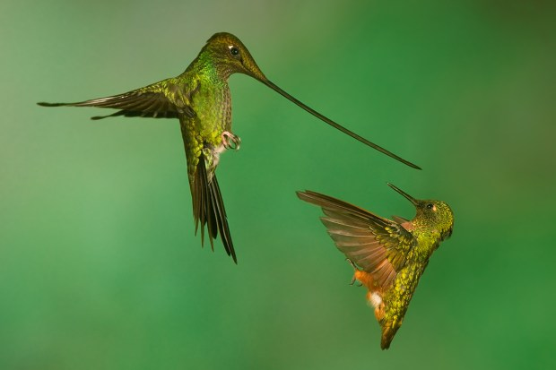 A Sword-billed Hummingbird (left) and a Chestnut-breasted Coronet battle over a hummingbird feeder. © Nate Chappell
