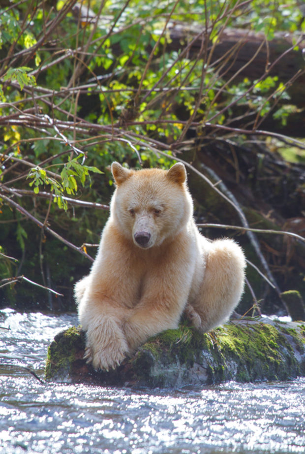 A spirit bear sits on a log, scanning for salmon. © Tim Irwin