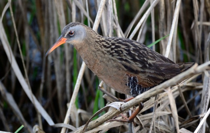 Virginia rail at Blackwater National Wildlife Refuge, Maryland.